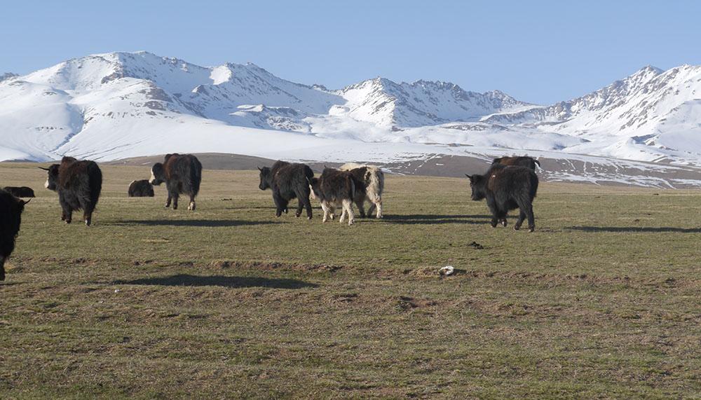 Nachhaltige Yakzucht in Kirgistan